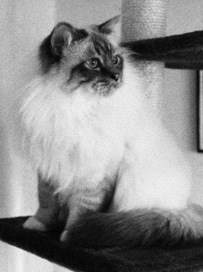 SE*Altona Kitten's Baloo