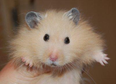 bada hamster