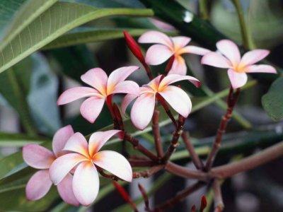 frangipani-flowers.jpg
