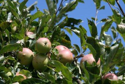 ett av alla fruktträd ute i parken.