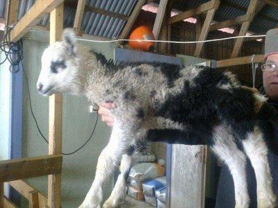 Lamm får till salu