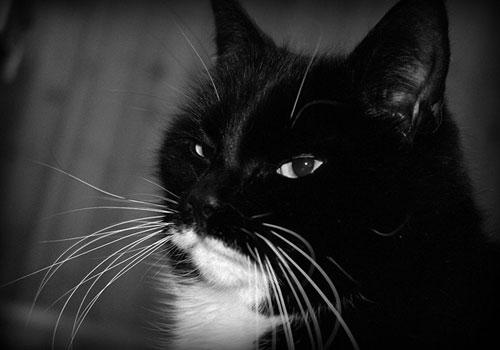 my-svartvitt katt