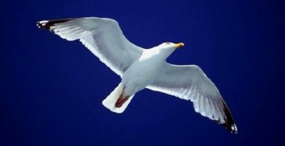 seagull421.jpg