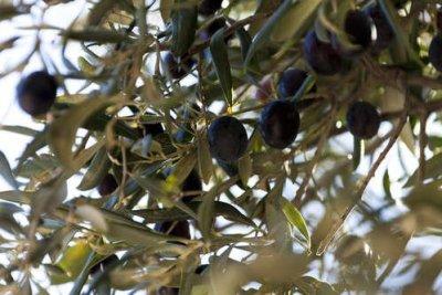 Oliv_träd