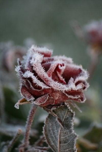 kopia-av-frost-ros.jpg