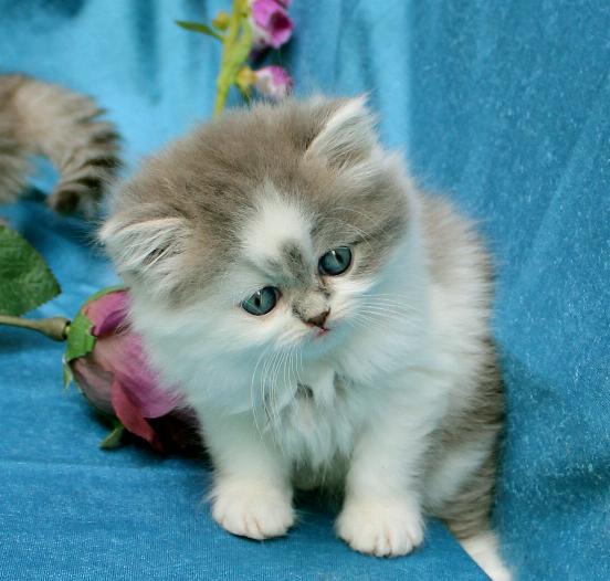 Blå och vit kattunge