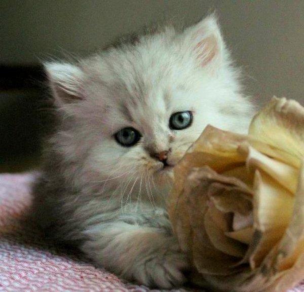 klassisk perser svart silver kattunge