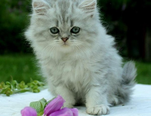blåsilver katter