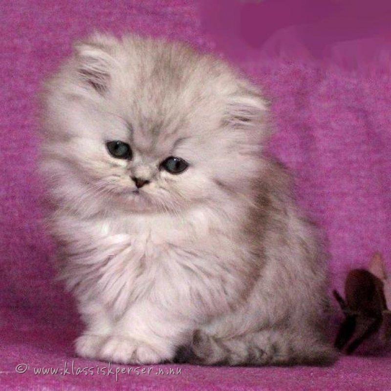 Klassisk Traditionell Chinchilla Perser katter sunda