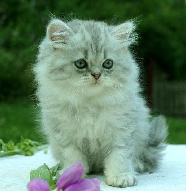 Blåsilver kattunge perser mainecoon