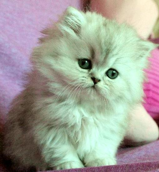 silver kattunge retro klassisk perser