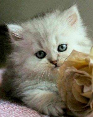 silver kattunge perser