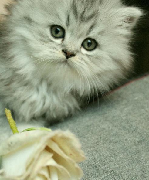 silverfärg på katt Klassis perser maineCoon mix