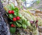 Röda lingon i skogen