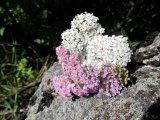 Vit och rosa rölleka på sten