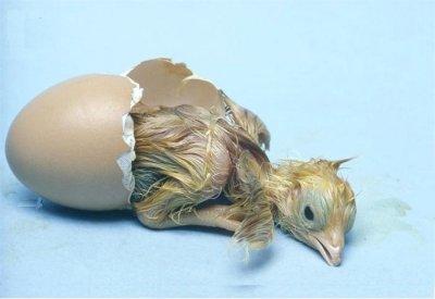 ägg kläckning