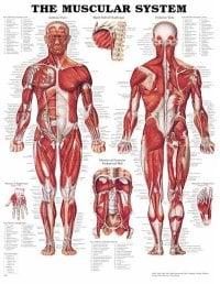 källan: anatomical chart company