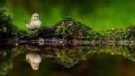Veckans bild (40) Denna veckans bild har Patrik Axelsson fotograferat. Här följer berättelsen om bilden. Bilden är tagen vid mitt nybyggda reflektionsgömsle som i själva verket är ett gigantiskt fågelbad. […]