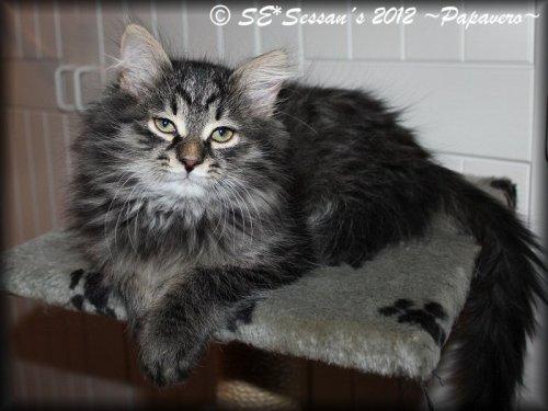 Sibirisk katt, Papavero