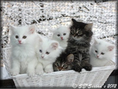 Kull med kattungar, sibiriska katter