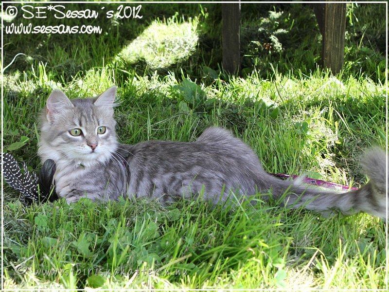 Uteha, sibirisk katt