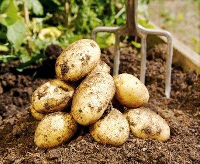 potatis1.jpg