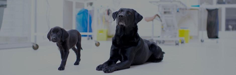 Hundar hos veterinären