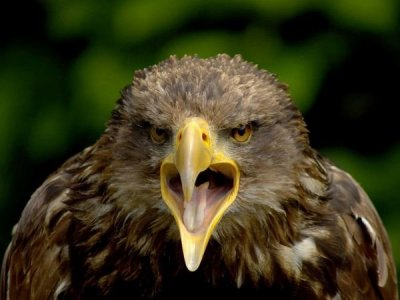 young-eagle.jpg