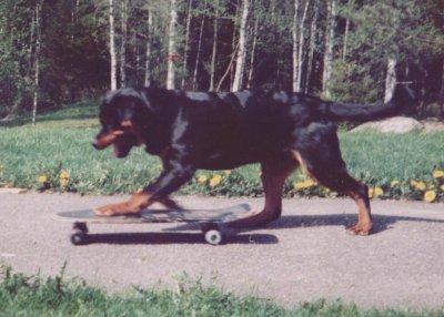 /jack-rottweiler-001.jpg