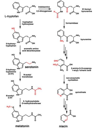 l-tryptofan-syntesen