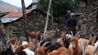 Covas do Monte: a aldeia das duas mil cabras e 58 habitantes