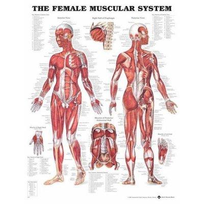 Kvinna muskler