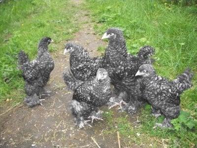 bilder pГҐ heta svarta kycklingar stora bytet och hГҐriga fitta