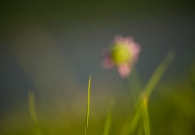 rosa-blomma.jpg