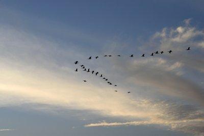 Fåglar som flyger i v-formation