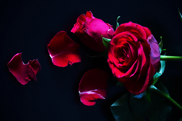 /rod-ros-red-roses.jpg