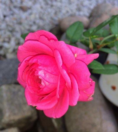 /rosa-ros.jpg
