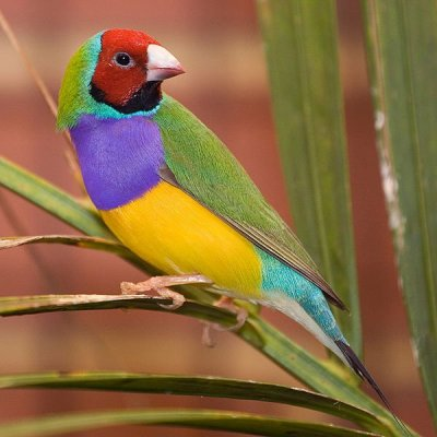 600px-male-adult-gouldian-finch.jpg