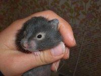 hamster kön vid