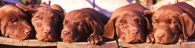 dogs-puppies-2135-800x200.jpg