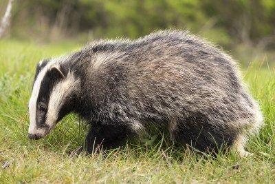 /badger-2030980_960_720.jpg