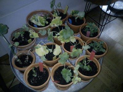pelargon-plantering.jpg