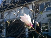 magnolian-blommar.jpg