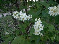 haggen-blommar.jpg