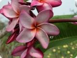 Plumeria rubra - Mountain Goddres - 5 Samen