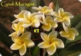 Plumeria rubra - Cindi Moragne -  5 Samen