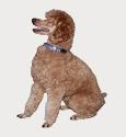 Hund med hundkoppel och hundkläder
