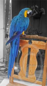 Blå-Gul Ara på stol