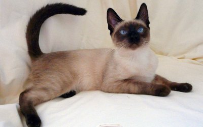 /thai-lovely-siamese-cat-x-breed.jpg