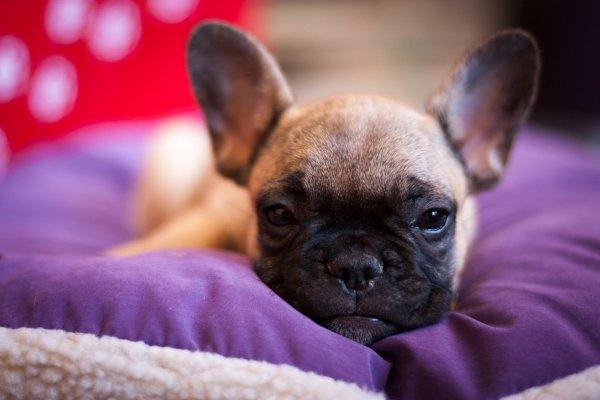 Franzbullat Französische Bulldoggen Und Andere Hunde